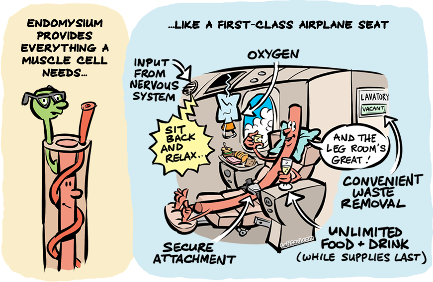 Endomysium is like a first-class airplane seat for your muscle cells
