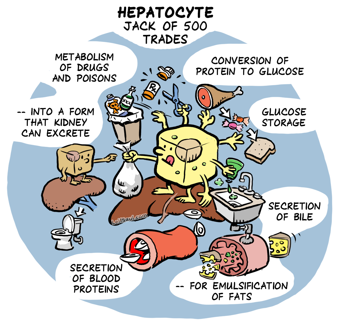 Hepatocyte, Jack of 500 trades