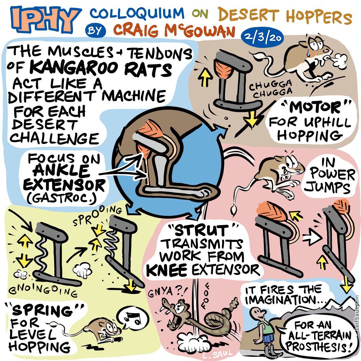 The kangaroo rat's adaptable hopping mechanism