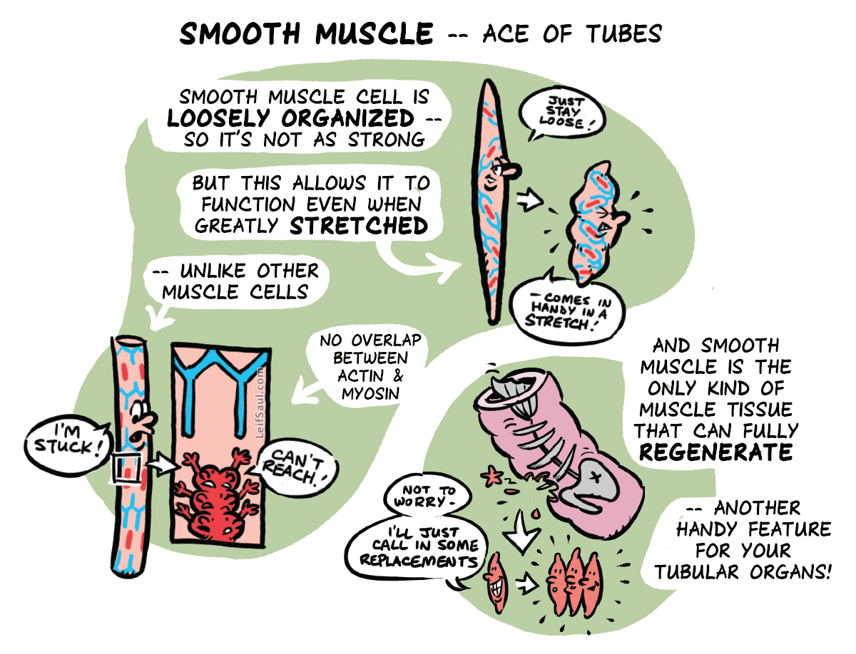 Smooth muscle, ace of tubes