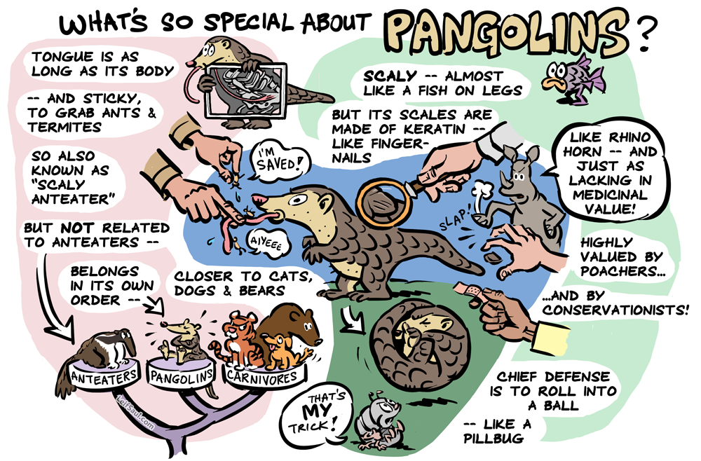 What's so special about pangolins?